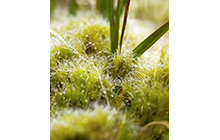 The green of moss is one of the most intense greens we can encounter in our natural environments. The beauty of moss is used in floral design and in gardening with decorative mosses