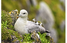 Fulmars are long lived birds with records showing  one bird ringed as a chick, still breeding well at the age of 35