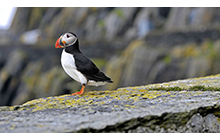 Skellig Michael is home to thousands of Atlantic puffins, at least for part of the year